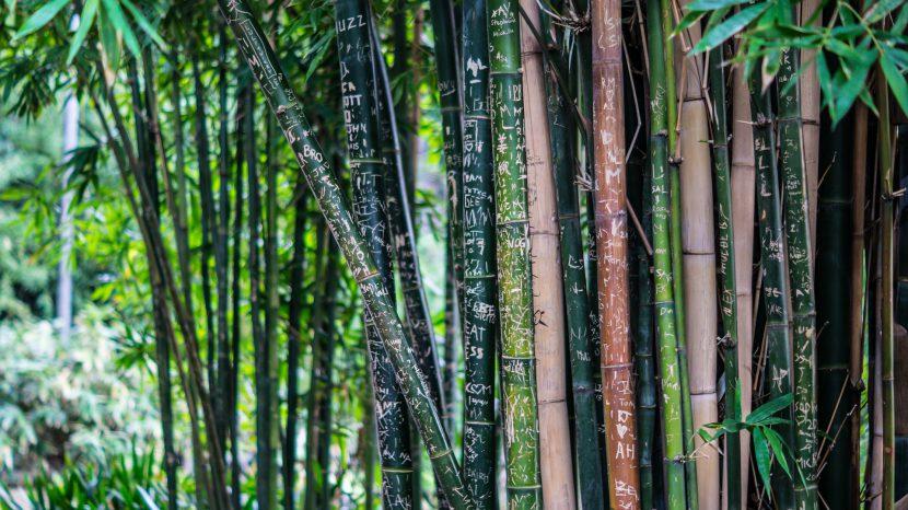 las, lasy tropikalne, bambus